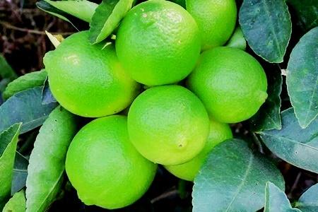 南投有機無籽檸檬5斤/箱